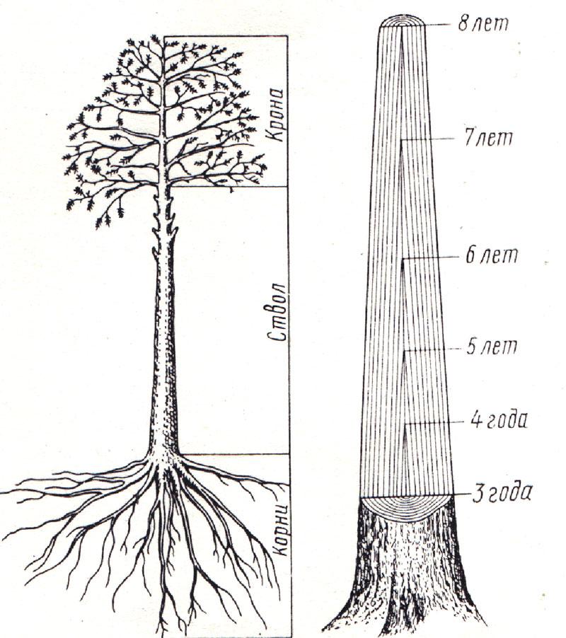 Части растущего дерева и схема